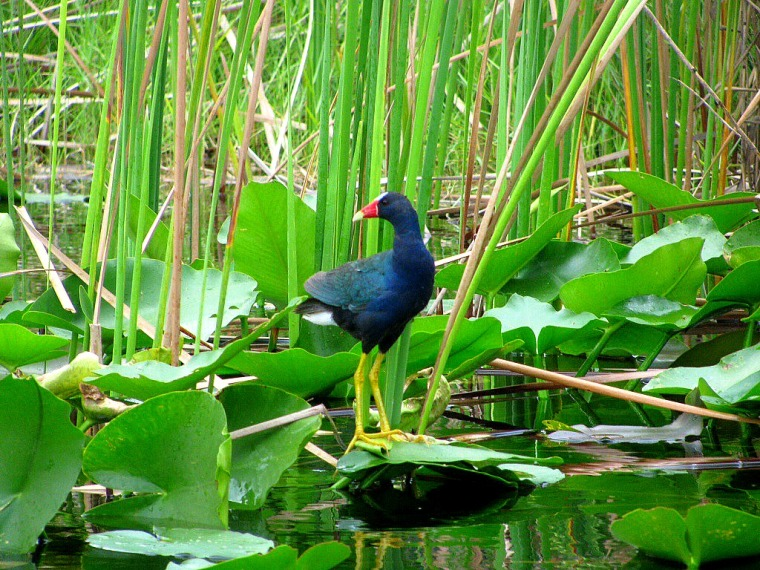 Bird Purple Gallinule