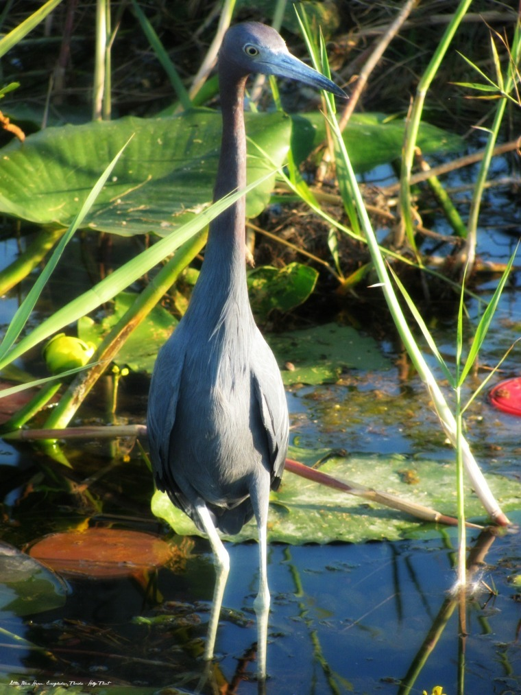 Little Blue Heron Everglades